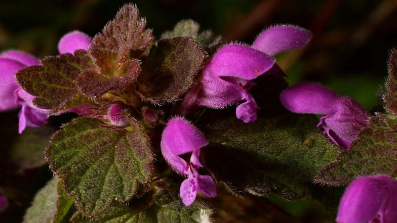 purple dead-nettle .. (click to enlarge ..)