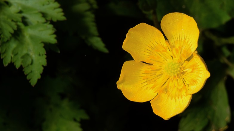 common buttercup .. (click to enlarge ..)