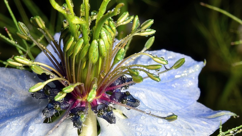 Nigella, a different kind of flower ... (click to enlarge ..)