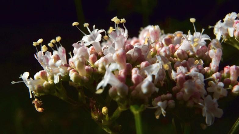 valerian flower, a last visit ... (click to enlarge ..)