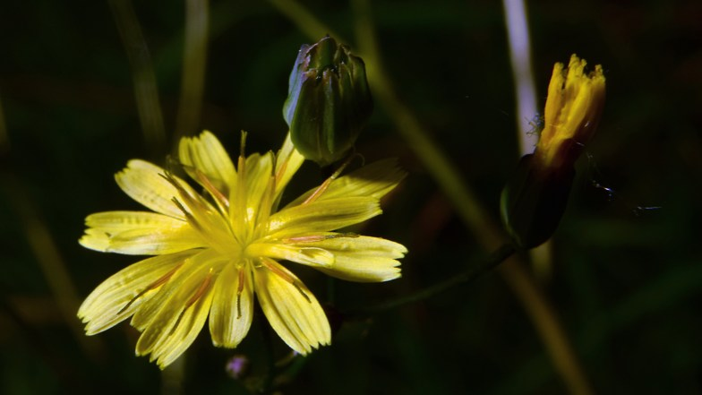 lapsana communis or nipplewort .. (click to enlarge ..)