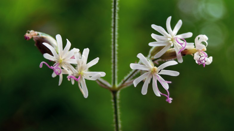 Nottingham catchfly .. (click to enlarge ..)