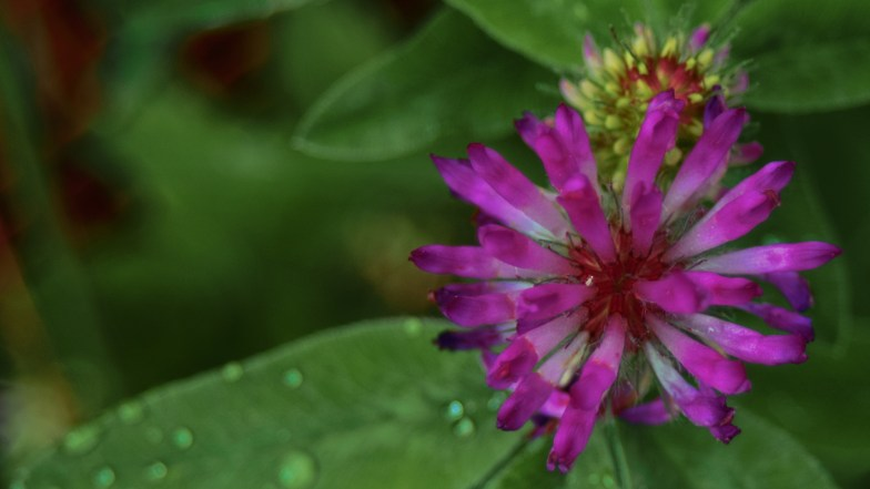 red clover .. (click to enlarge ..)