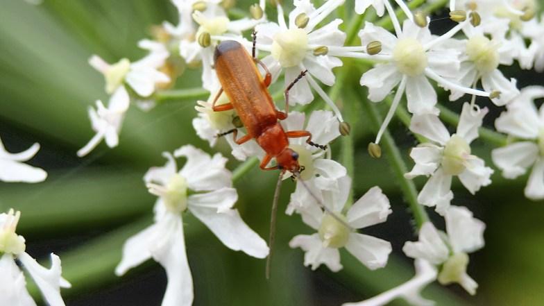 an alpine longhorn beetle on heracleum flower .. (click to enlarge ...)