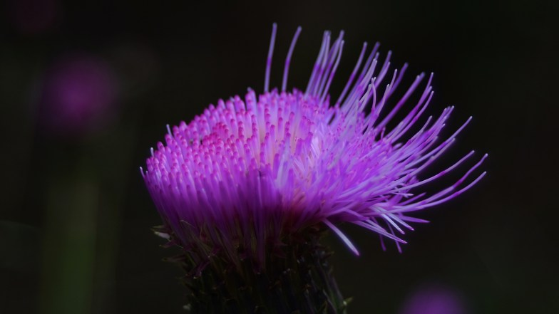 alpine thistle, ... opening ... (click to enlarge ..)