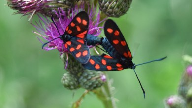 Two Six-spot Burnets ... dating each other .. (click to enlarge ..)