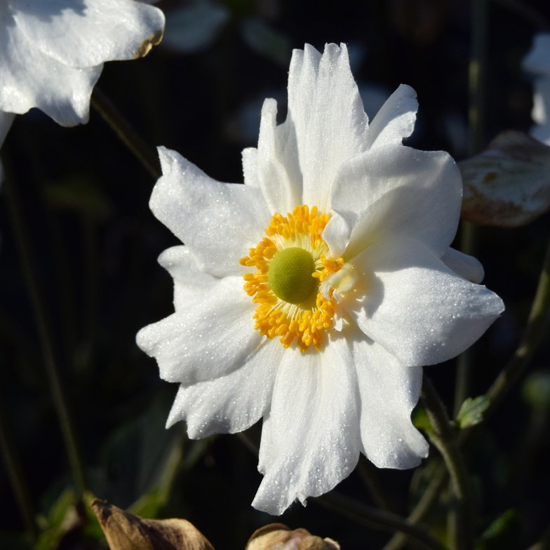 japanese anemone ... (click to enlarge ..)
