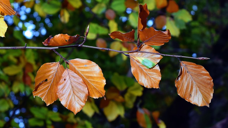 beech leaves ... (click to enlarge ..)