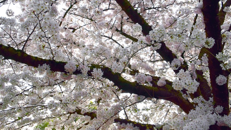 cherry blossoms all the way up .. (click to enlarge ..)