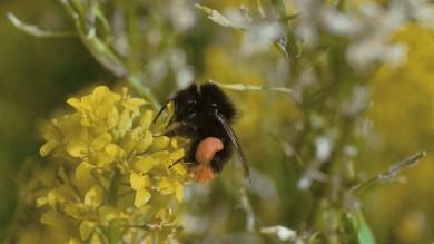 tiny bumble bee