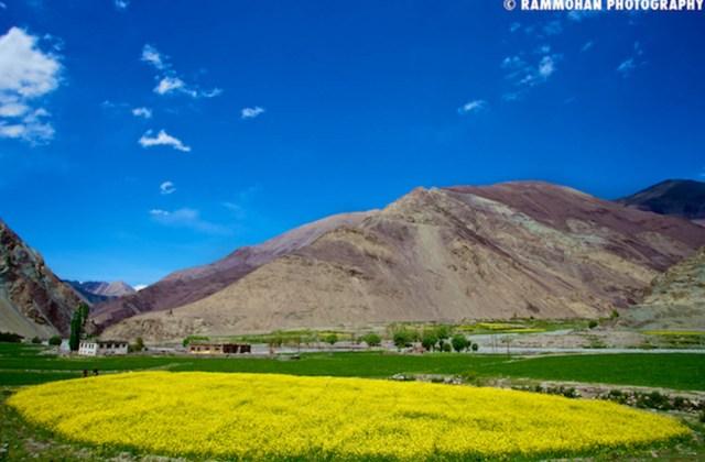 Bright Yellow Mustard Fields of Ladakh.