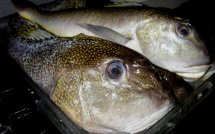 Golden Tilefish Fish