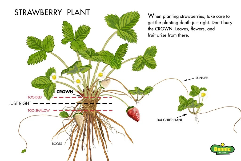 Strawberry Plant Runners