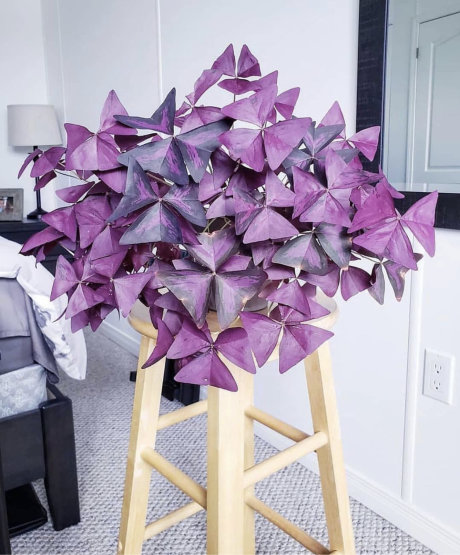 Purple False Shamrock
