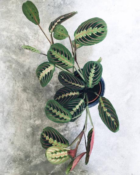 Red Prayer Plants