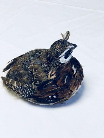 feather quail