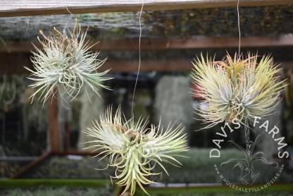 Tillandsias ionantha ionantha Guatemala clumps on wire