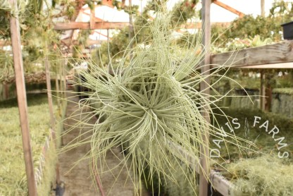 Tillandsia magnusiana clump on wire