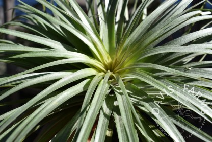 Tillandsia Houston giant green