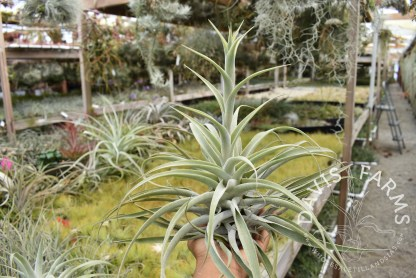 Tillandsia cacticola green tall form