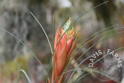 Tillandsia punctulata, flower stalk