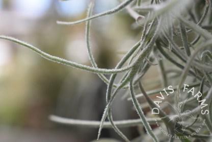 Tillandsia usneoides, Spanish moss, thick form