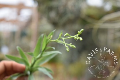 Catopsis mooreana