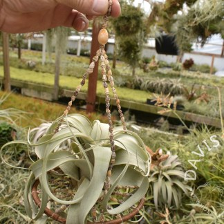 Seashell Tillandsia hanger with hoop