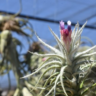 Tillandsia stellifera, bloom