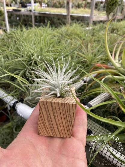 Zebrawood Tillandsia pot