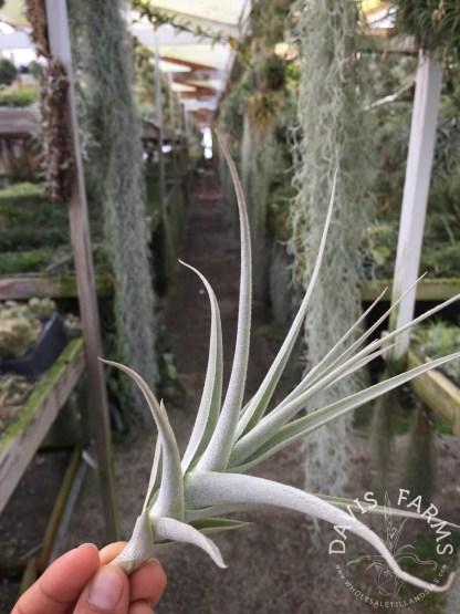 Tillandsia purpurea no.11