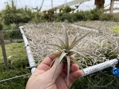 Tillandsia copanensis x zacapanensis