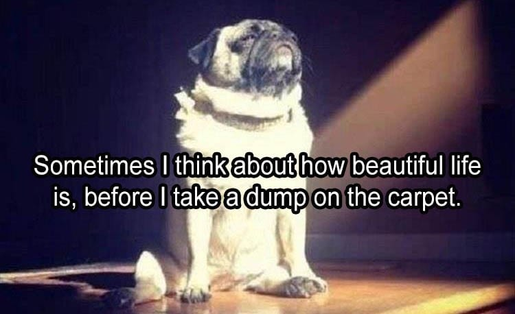 Pug in a ray of sunshine and soaking it up.