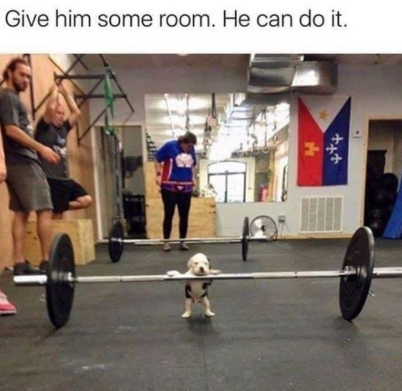 Bulldog puppy getting ready to lift some heavy weights at the gym. Funny bone