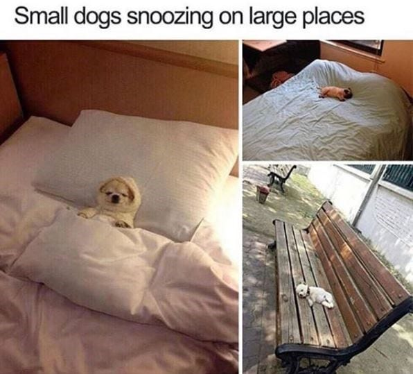 Small dogs in big beds.