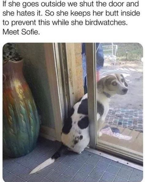 Beagle sitting in between a sliding glass door.