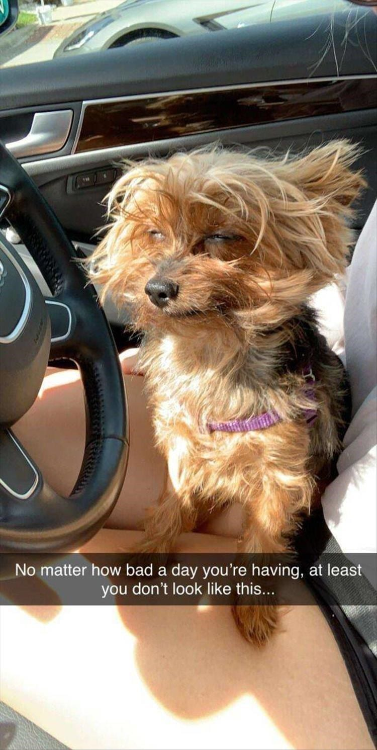 Yorkie dog sitting in the driver's side seat with it's fur all messed up.