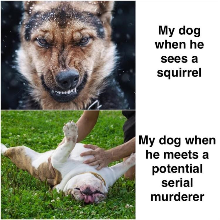 Life with dogs. Shepard with a growling face vs a bulldog on its back.
