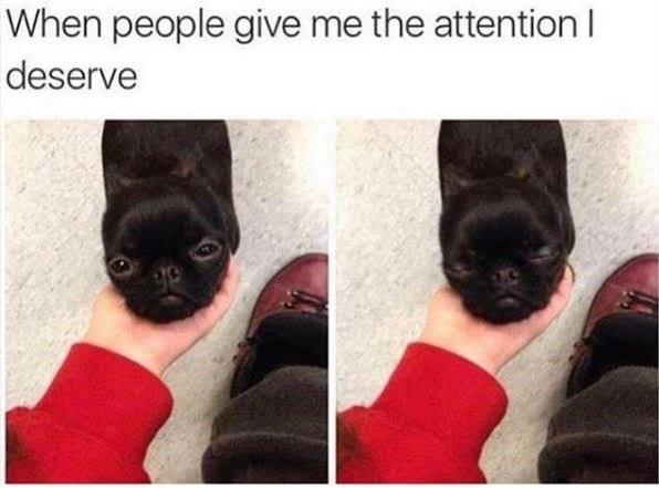 Little pug wanting affection.
