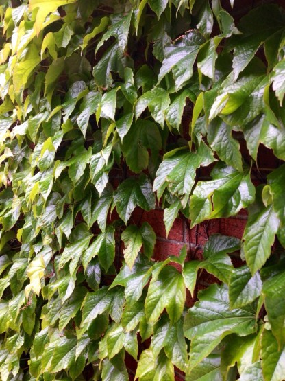 Ivy on the side of our apartment building