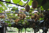 Kiwis Growing At Our Hotel