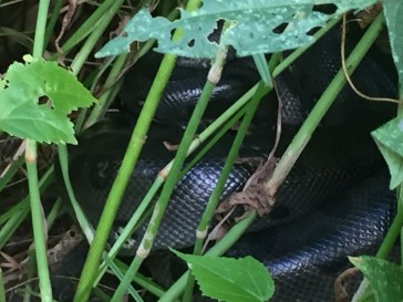 A young anaconda sleeping in the bushes