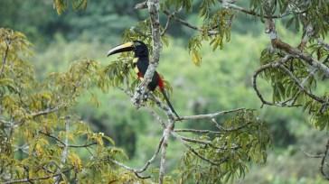 Beautifully coloured Toucan
