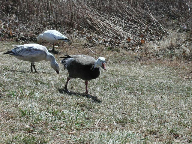 Snow geese: gray phase, intergrade, and white