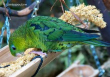 Green-Barred Parakeet