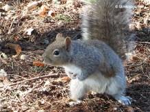 Eastern Grey Squirrel on alert