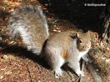 Eastern Grey Squirrel on all fours