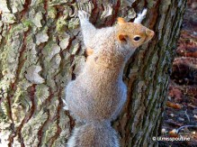 Grey Squirrel, ready to climb
