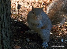 Grey Squirrel, surprised with two pawfuls of nuts