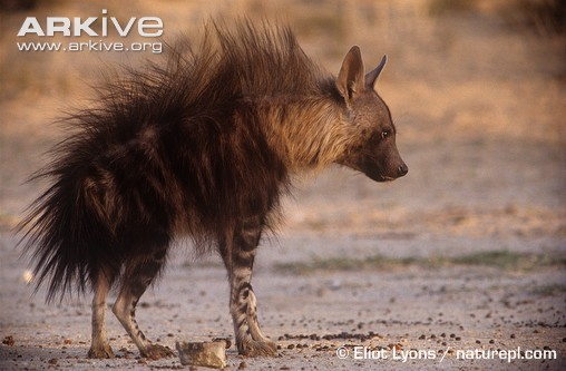 Cute Baby Duck Wallpaper Hd Brown Hyena In Aggressive Display 171 Why Evolution Is True